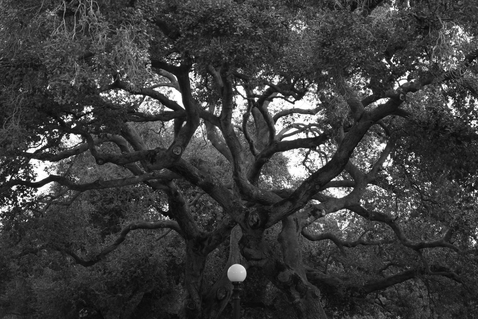 עץ סבוך (צילום: חגי ידידיה)