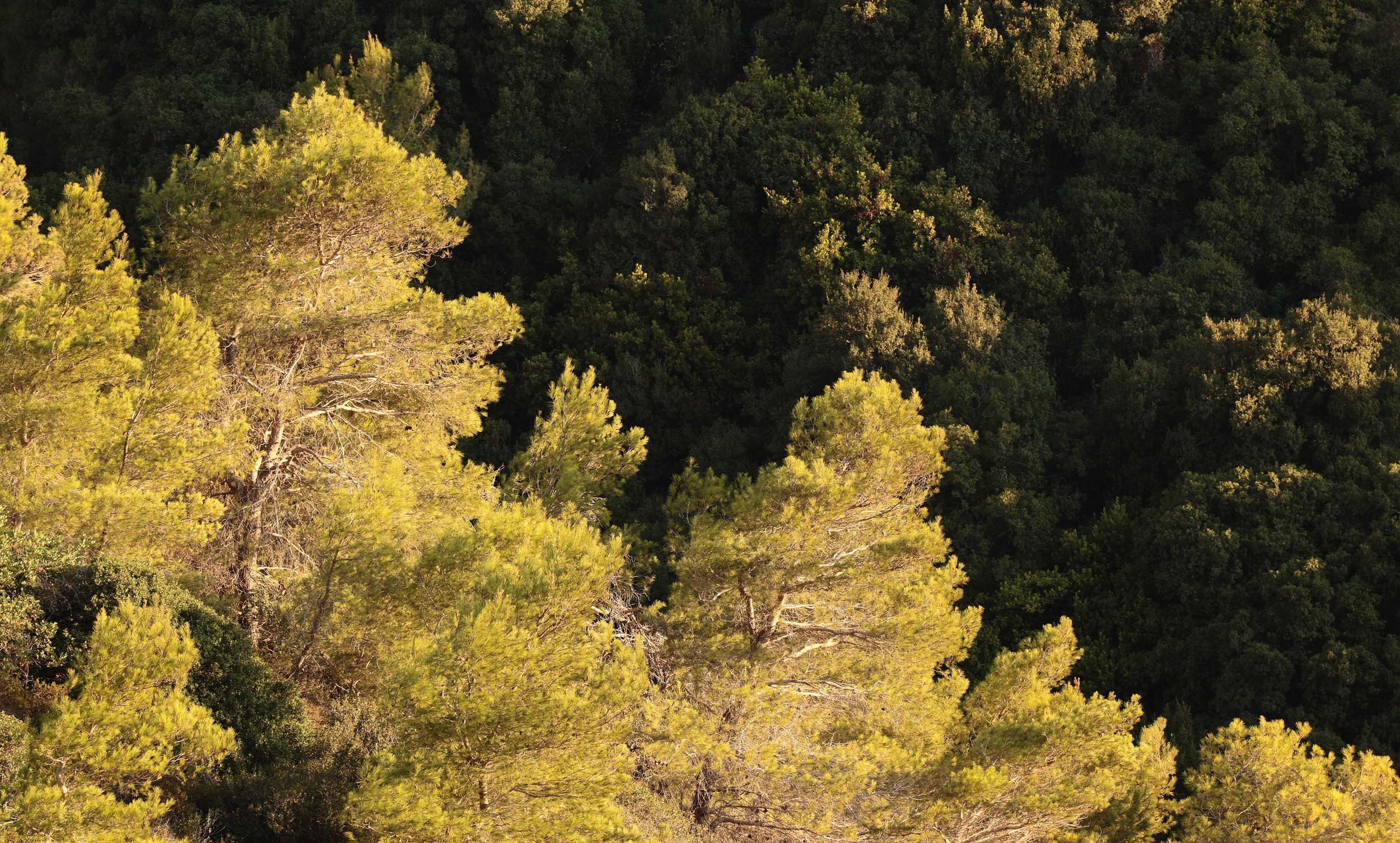 יער מחטים - צהוב (צילום: חגי ידידיה)